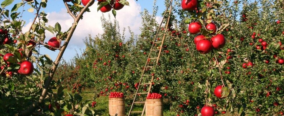 Apples' 5 Most Important Health Benefits